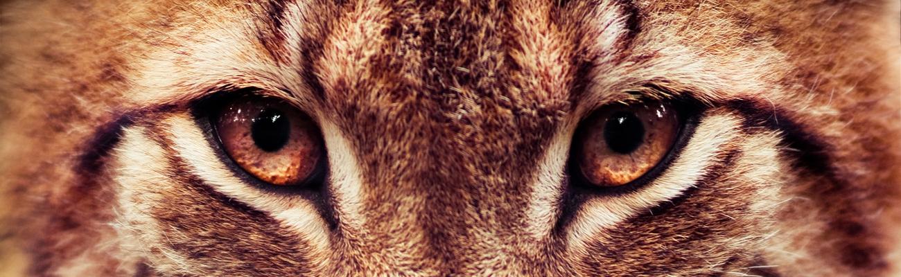 «Œil de lynx» ou «œil de Lyncée» ?